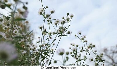 white wild flowers on background of blue sky nature...