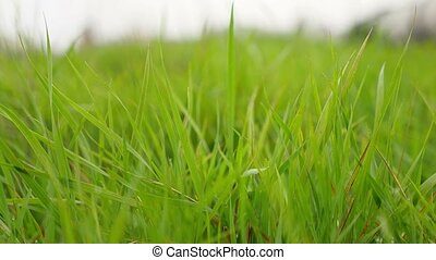 lawn green grass field beautiful nature - lawn green grass...