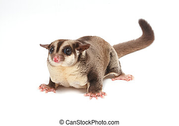 Closeup of female sugar glider standing on the floor isolate...
