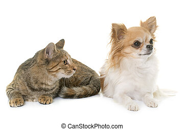 tabby kitten and chihuahua