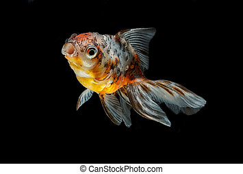 tricolor gold fish isolate on background