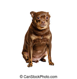 Overweight russian toy dog sitting isolated on white