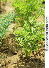 Carrot plants in garden