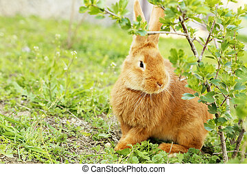 Young red rabbit on grass
