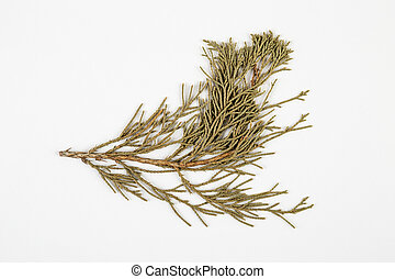 cypress herbarium on white background