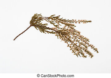 heather herbarium on white background.