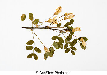 Caragana arborescens herbarium on white background.