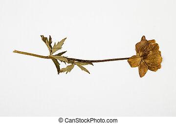 globe-flower herbarium on white - Trollius europaeus...