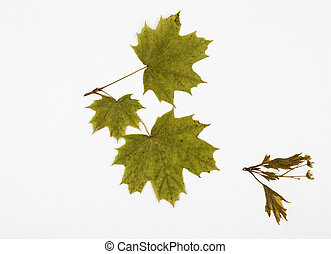 maple herbarium on white background.