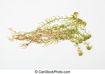 Sphagnum herbarium on white background.