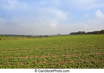 oilseed and trees - a young canola crop with trees hedgerows...