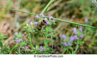 Bees gathering honey from thyme flowers on a green meadow.