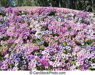 Ramat Gan Park Petunia flowers 2010 - Petunia flowers in...