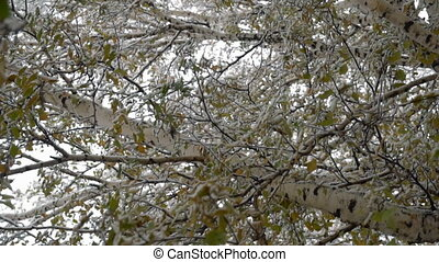 Early snow in October in Siberia - Titmouse on a...