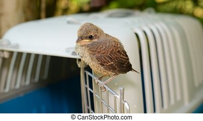 Whitethroat fledgling perching on door of plastic cage...