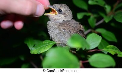 Human hand feeding whitethroat fledgling in natural...