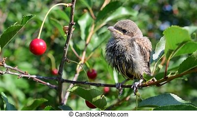 Young whitethroat fledgling perching on cherry tree twig -...