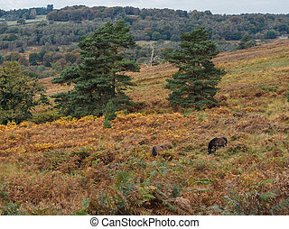 Exmoor Ponies Grazing in the  Ashdown Forest in Autumn
