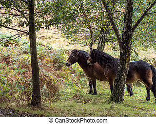 Exmoor Ponies in the  Ashdown Forest in Autumn