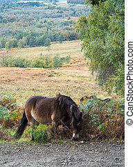 Exmoor Pony Grazing in the  Ashdown Forest in Autumn