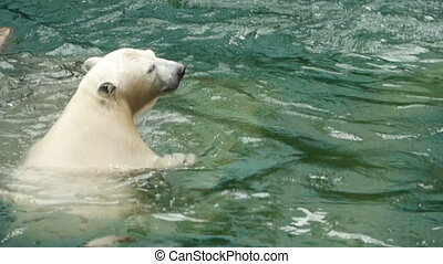 Polar bear swims and dives