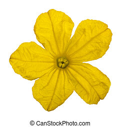 Yellow flower of cucumber close-up, isolated on white...