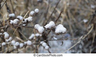 Burdock covered with snow in winter on blurred background