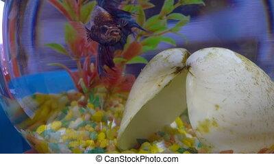 Betta fish in aquarium - Colourfull Betta fish, siamese...