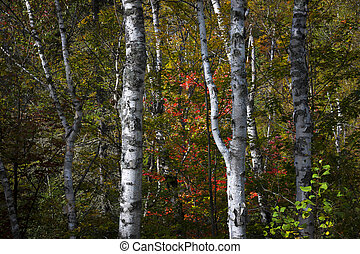 Birches - Birch tree trunks in autumn forest with colorful...