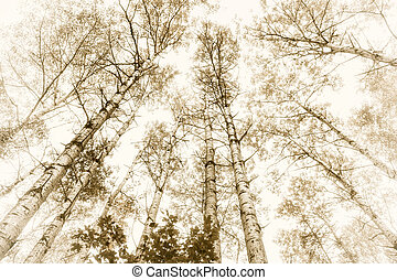 Tall aspens trees with tree trunks and treetops in sepia...
