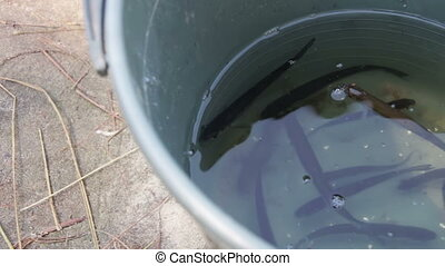 The Caught Fish in a Bucket - The caught fish in a bucket....