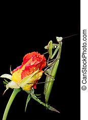 Praying Mantis on a Rosebud - Green Praying Mantis, Mantis...