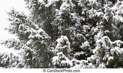 High spruce covered snow - High spruce with cones, covered...