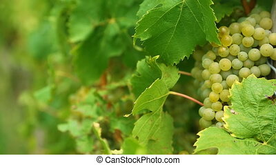 White grapes bunch - White grape bunch on the vineyard