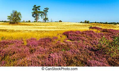 Blooming Purple Heathers in Field - Purple Calluna Heathers...