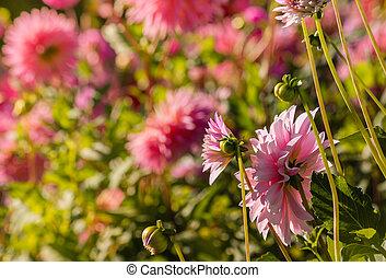 pink dahlias flowerbed - closeup of pink dahlia flowers...
