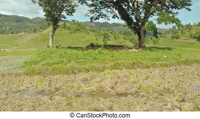 Philippine village. Buffaloes resting under the trees. -...