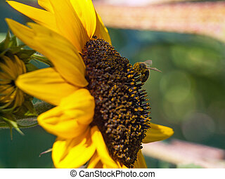 Honeybee Covered in Pollen on a Sunflower