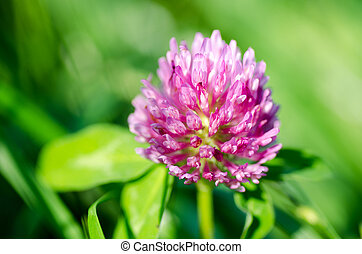 Pink clover flower on green background. Close-up