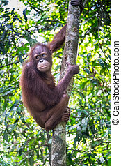 Orang Utan in Tropical Rainforest - A thoughtful orang utan...