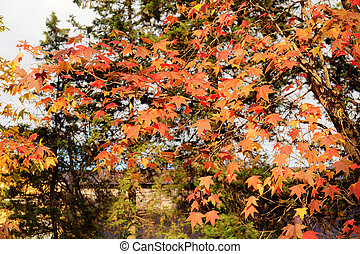 Liquidambar red leaves in autumn sunny day