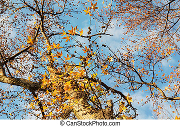 Liquidambar in autumn - Liquidambar yellow leaves in autumn...