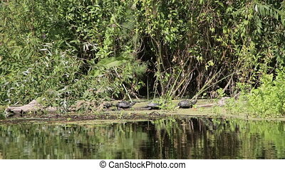 Three Turtles on a Log in the River - Three turtles on a log...