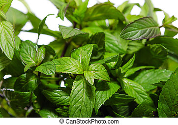 bush fragrant peppermint isolated on white background, macro