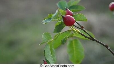 red rosehip berries on a tree bush branch nature - red...