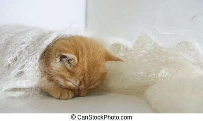 redhead little kitten asleep wrapped in a knitted shawl cat...