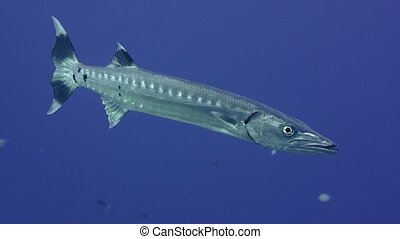 Great barracuda in blue water with surgeonfish. Red sea