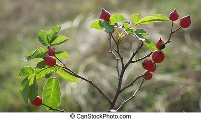 red rosehip berries on a tree branch nature bush - red...