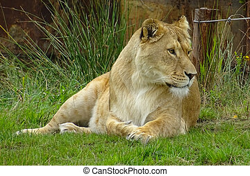 Lioness - This lioness lays down while watching the area