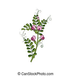 Sweet Pea Wild Flower Hand Drawn Detailed Illustration....